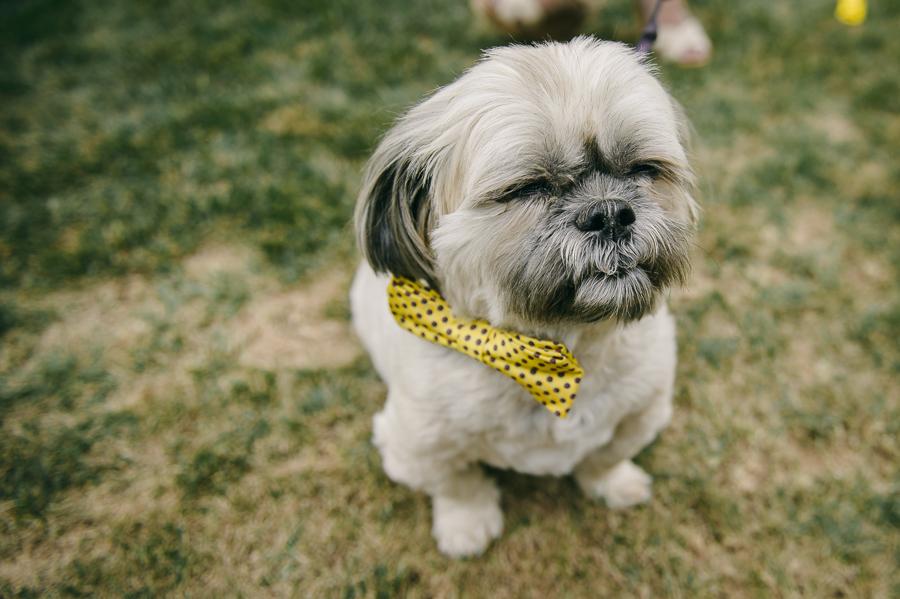 44 wedding dog yellow detail bow tie
