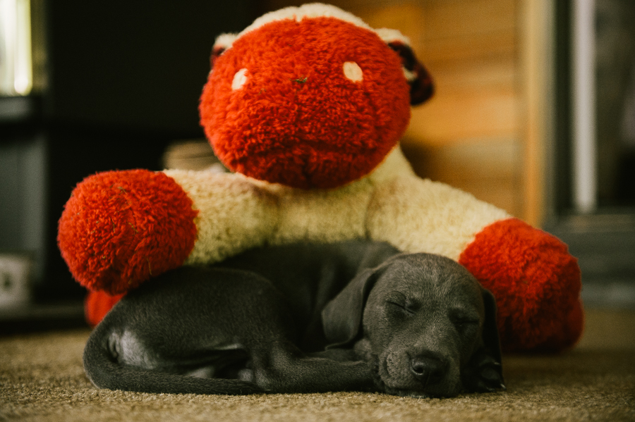 blue-lacy-puppy-first-day-with-owners-273