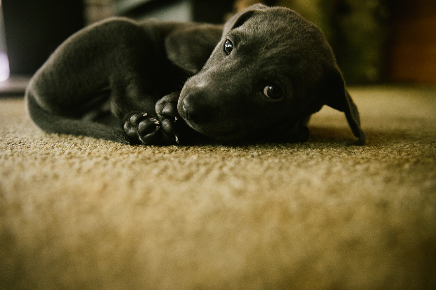 blue-lacy-puppy-first-day-with-owners-299