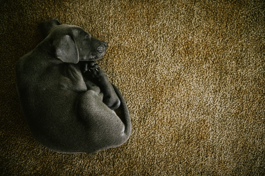 blue-lacy-puppy-first-day-with-owners-311