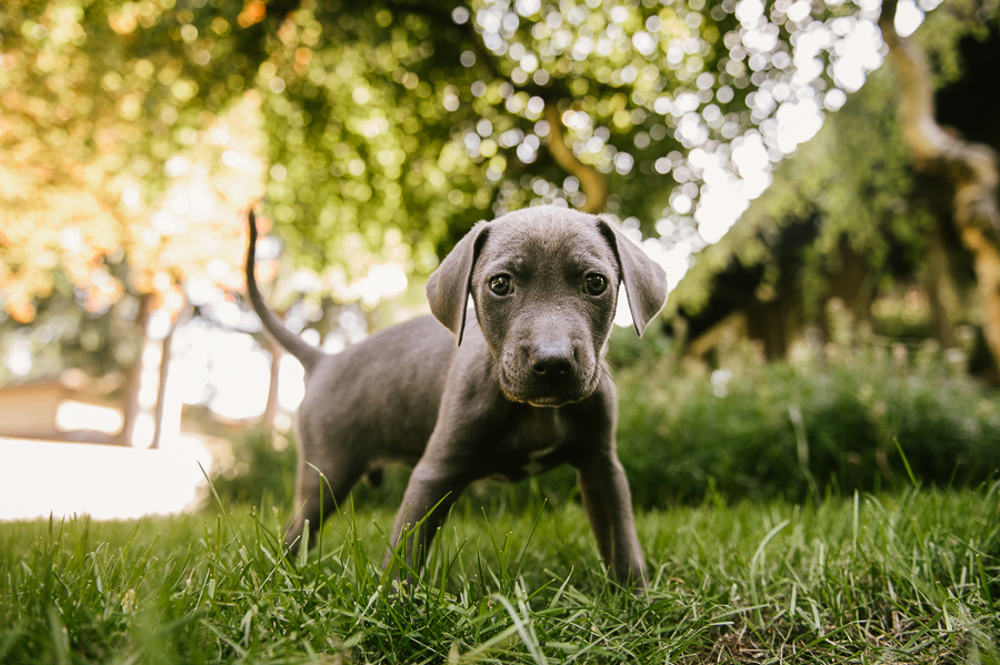 blue-lacy-puppy-first-day-with-owners-326