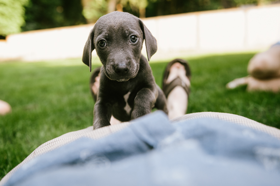 blue-lacy-puppy-first-day-with-owners-376