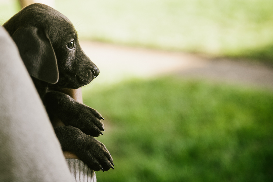 blue-lacy-puppy-first-day-with-owners-477
