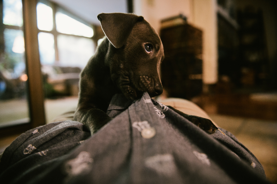 blue-lacy-puppy-first-day-with-owners-593