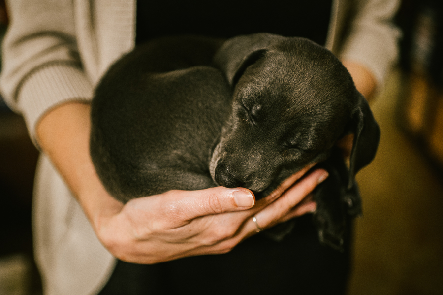 blue-lacy-puppy-first-day-with-owners-742